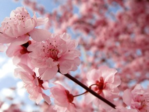 Blooming-Pink-Cherry-Blossom-pink-color-34590835-692-523
